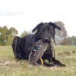 bird hunting dog
