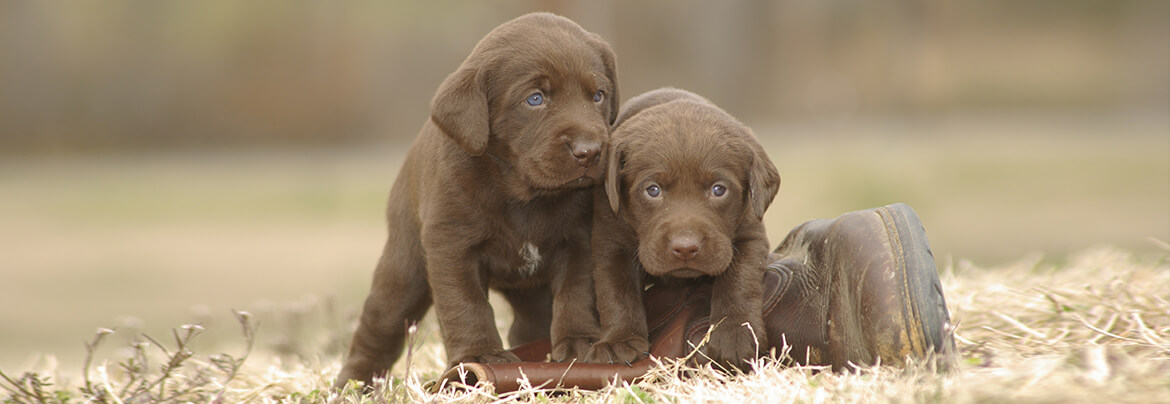 Top Quality Labrador Retrievers Breed in TN and MS
