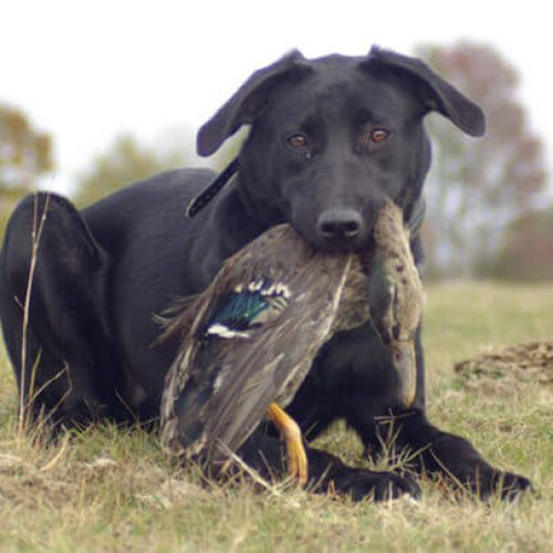 bird hunting dog